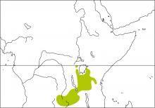 Tabora Cisticola (Cisticola angusticauda)