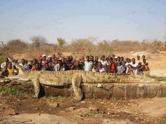 > Humans are usually predators, but we can be prey too. The people in a village on the Niger River in Africa were losing fellow  > villagers at a rapid rate, and called in the army, which shot a > 7 m, 1200 Kg crocodile.