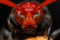 Avispa de cabeza roja Macro Fotografie, Fotografia Macro, Amphibians, Mammals, Reptiles, Macro Pictures, Garden Bugs, A Bug's Life, Cutest Animals