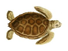 FREE Green Sea Turtle Clipart: Large Vintage Instant Download