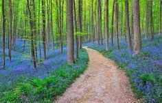 bluebells-in-halles-forest,-belgium