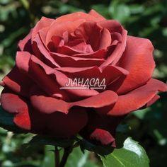 a_16248_11107.jpg (775×775)Роза срезочная Терракотта / Terracotta (селекция Meilland) .