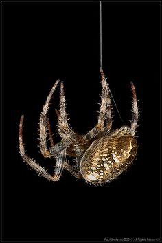 Garden Spider by Paul Bratescu - AnimalExplorer