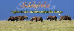 Samara Wildreservat, Südafrika:  Gnu, Black Wildebeest