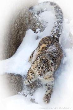 snow leopard (photograph by akishin vyacheslav)