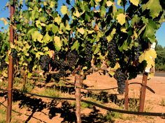 Planning a trip to Sonoma County Wineries? Our guide is a great jumping off point to explore the best food and wine in the region.Where to go, what to do in Sonoma, California.