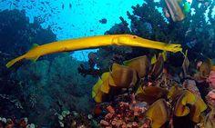 #yellow Trumpet Fish - Aulostomus chinensis