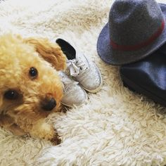 """Mummy wants to do an """"accessorizes of the day"""". Well i am the most precious one of all. Sooooo I definitely need to be on this pic  #poodle #dog #hund #pudel #caniche #chien #lifestyle #outfit #accessorize #accessoire #cute #hat #shoes #keds #silver #fluffy #cutiepie #fashion #fashionista #outfit #detail #instapic #instagood"""