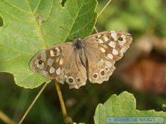 http://faaxaal.forumgratuit.ca/t2244-photo-de-papillon-tircis-pararge-aegeria-speckled-wood