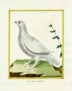 Martinet c1770's: Gelinotte blanche Ptarmigan