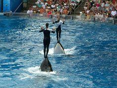 Killer Whales- Sea World
