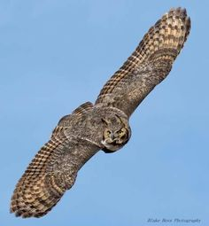A spectacular shot of a Great Horned Owl in Northern Colorado, USA thanks to Blake Hess Photography. More photos and info about this species here --> http://owlpag.es/GreatHornedOwl
