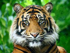 22_tigres_como_animais