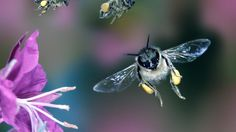 Here's a very good information-rich story about the current solitary pollen bee situation with plenty of food for thought.