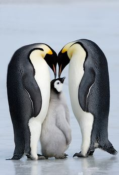 family Emperor Penguin - Thorsten Milse                                                                                                                                                                                 Mehr