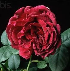 Dark crimson rose - mourning