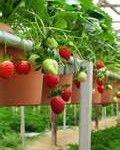 aardbeien zelfvoorzienend leven