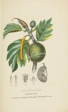 artocarpus incisa      ...
