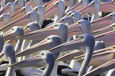 Australian Pelicans, at The Entrance, New South Wales, Australia