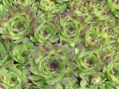 Evergreen succulent with a mat forming growth habit, that bears rosettes of pointed, thick leaves, many times with bristly margins, or covered with a web Hens And Chicks, Concrete Planters, Star Shape, Rosettes, Purple Flowers, Lettuce, Cabbage, Backyard, Leaves