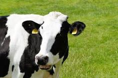 Image result for cow