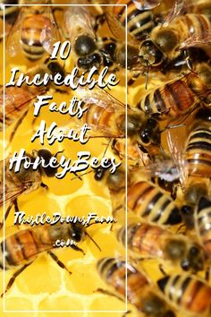 Honeybees are truly incredible creatures. They are super important to the production of crops. Here are 10 facts about honeybees to get you buzzing! | Honeybee facts | Learn more about honeybees at ThistleDownsFarm.com Raising Farm Animals, Raising Chickens, Types Of Agriculture, Million Flowers, Hobby Farms, Bees Knees, Bee Keeping, Creatures, The Incredibles