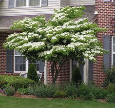 White Kousa Dogwood Tree for front yard with sitting bench underneath to watch kids play!