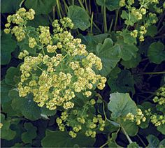 Lady's mantle (Zones 4 to 7). cutting, filler, border