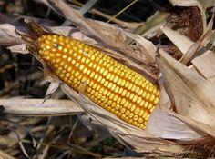 Sobre los alimentos transgénicos lo que importa es el producto final y no el proceso