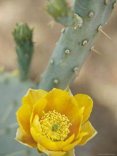 Prickly Pear Cactus in Bloom, Arizona-Sonora Desert Museum, Tucson, Arizona, USA Photographic Print by John & Lisa Merrill at Art.com