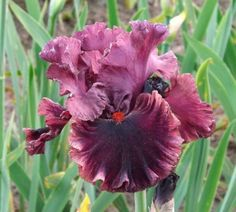 TB Iris Hint of Danger - Blyth 09/10  Photo Iris Sisters Farm