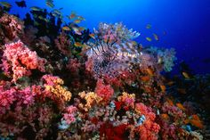 The Maldives, one of my dream destinations. Soft corals and tropical fish at H.P. Reef.