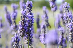 Walking through tens of thousands of lavender plants is an experience like no other. The fragrance is nature's best aromatherapy treatment! Lavender Plants, Lavender Garden, Lavender Essential Oil Uses, Essential Oils, Lavender Lemonade, San Juan Islands, Insect Repellent, Natural Oils, Aromatherapy