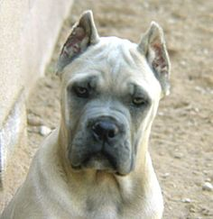 Cane Corso-reminds me of my Dear Dear lost friend Cane Corso Italian Mastiff, Cane Corso Mastiff, Cane Corso Dog, Baby Dogs, Dogs And Puppies, Dressage, Dog Day Afternoon, Education Canine, Huge Dogs