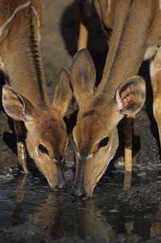 Nigel Dennis Wildlife Photography : Animals by Theme or Concept Durban South Africa, Wildlife Safari, Kwazulu Natal, Game Reserve, African Animals, Homeland, Elk, Wildlife Photography, Moose