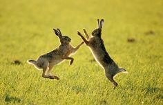 Wildlife Olympics: European Hare (Lepus europaeus) pair sparring, Europe