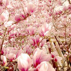 magnolia tree blossoms