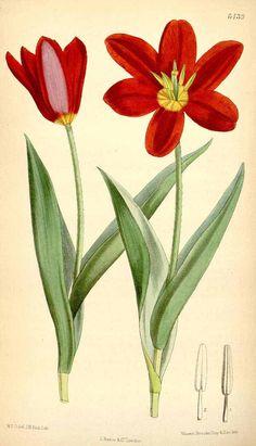 3933 Tulipa suaveolens Roth [as Tulipa schrenkii Regel] / Curtis's Botanical Magazine, vol. Botanical Flowers, Exotic Flowers, Botanical Art, Botanical Gardens, Flowers Garden, Purple Flowers, Spring Flowers, Vintage Botanical Prints, Vintage Prints