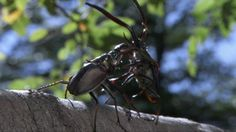 A Darwin's beetle fights rival males, tossing them to the forest below using his immense jaws.