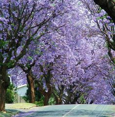 Johannesburg- the Jacaranda tree with beautiful purple flowers Beautiful World, Beautiful Places, Meadow Garden, Out Of Africa, Parcs, Flowering Trees, Amazing Nature, Purple Flowers, Garden Furniture