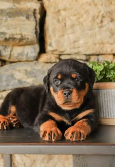 👪🐶Are you looking to bring home a #Rottweiler puppy? If the answer is YES... then look NO further! These #Cuties will be delighted to join you for an adventures #Summer!🌞🏕️ #Charming #PinterestPuppies #PuppiesOfPinterest #Puppy #Puppies #Pups #Pup #Funloving #Sweet #PuppyLove #Cute #Cuddly #Adorable #ForTheLoveOfADog #MansBestFriend #Animals #Dog #Pet #Pets #ChildrenFriendly #PuppyandChildren #ChildandPuppy #LancasterPuppies www.LancasterPuppies.com Rottweiler Breeders, Rottweiler Puppies For Sale, New Puppy, Puppy Love, Lancaster Puppies, Mans Best Friend, Adventure, Pets, Animals