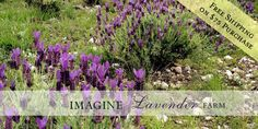 Imagine Lavender Farm, Blanco, Texas