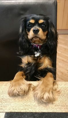 King Charles Puppy, King Charles Spaniel, Cavalier King Charles, Spaniel Puppies, Dogs And Puppies, Cavalier King Spaniel, Number 2, Spaniels, Buckets
