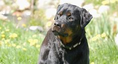 Solo - Rottweiler (Rescued September 29th, 2007)