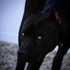 Cane corso black with yellow eyes All Black Pitbull, Black Pitbull Puppies, Rottweiler Puppies, Dogs And Puppies, Dogs Pitbull, Pitbull Noir, Pitbull Terrier, Animal Espiritual, Animals And Pets
