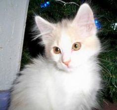 Rainbow is an adoptable Domestic Long Hair-White Cat in Prescott, AZ. Rainbow's Contact Info *** Questionnaire *** If you would like to meet Rainbow, please download the questionnaire, fill it out and...