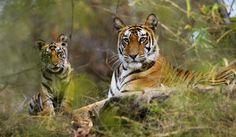 Tiger Safari Tour – Tours from Delhi – Private Tours India - http://toursfromdelhi.com/tiger-safari-tour-17n18d-delhi-jaipur-ranthambore-agra-bandhavgarh-kanha-national-park-jabalpur/