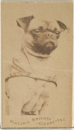 Issued by Allen & Ginter (American, Richmond, Virginia). Pug, from the Dogs series (N47) for Virginia Brights Cigarettes, CA. 1888. The Metropolitan Museum of Art, New York.  The Jefferson R. Burdick Collection, Gift of Jefferson R. Burdick (63.350.203.47.6) #dogs