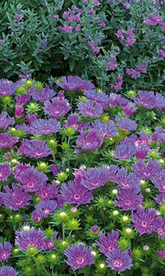 Peachie's Pick Stokes' Aster (Stokesia laevis 'Peachie's Pick') performs well in containers or beds. Blooms summer to fall; clip spent blooms to promote continued flowering. Full sun; water regularly in extreme heat. Grows 12 to 18 inches tall and wide. Zones 5 to 9; Monrovia