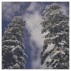 Two tall evergreens and the blue sky fabric